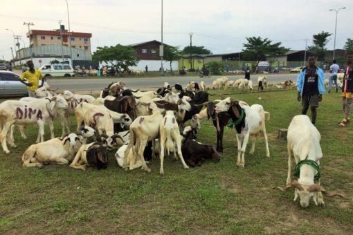 Des moutons à vendre à Douala pour la fête de la tabaski 2021. Photo: Moustapha Oumarou